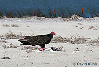 0111-0958  Turkey Vulture Feeding on Carrion (Dead Bird), Cathartes aura  © David Kuhn/Dwight Kuhn Photography