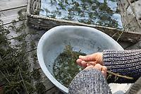 Brennnessel-Samen, Brennnesselsamen, Brennessel-Samen, Samen von Brennnesseln, Samen werden von den getrockneten Stängeln abgestreift, Kräuterernte, Brennnessel, Große Brennnessel, Brennessel, Urtica dioica, Stinging Nettle, common nettle, nettle, nettle leaf, seed, seeds, La grande ortie, ortie dioïque, ortie commune