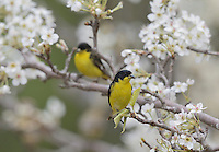 Lesser Goldfinch (Carduelis psaltria),  males perched on blooming Mexican Plum (Prunus mexicana) , Hill Country, Texas, USA