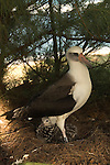 Laysan Albatross with chick in Hawaii.