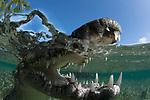 American Crocodile, in mangrove, Crocodylus acutus, Cuba, over/under shot,Underwater, Jardines de la Reina, marine reptiles, Protected Marine park underwater