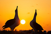Laysan albatross, Phoebastria immutabilis, couple sky-pointing during courtship dance at sunrise, Sand Island, Midway Atoll, Midway National Wildlife Refuge, Papahanaumokuakea Marine National Monument, Northwestern Hawaiian Islands, Hawaii, USA, Pacific Ocean