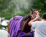 LOUISVILLE, KY - MAY 02: Nyquist, trained by Doug O'Neill and owned by Reddam Racing LLC, gets bathed and cleane dup after walking two miles during morning workouts for the Kentucky Derby and Kentucky Oaks at Churchill Downs on May 2, 2016 in Louisville, Kentucky. (photo by John Voorhees/Eclipse Sportswire/Getty Images)