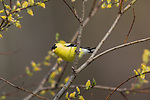 Male American goldfinch perched on a willow in northern Wisconsin.