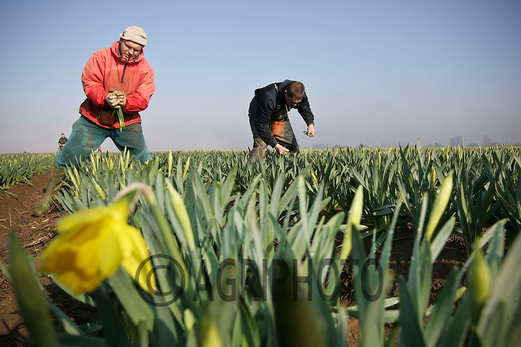 Migrant workers picking daffodils in the fields of the Linconshire Fens