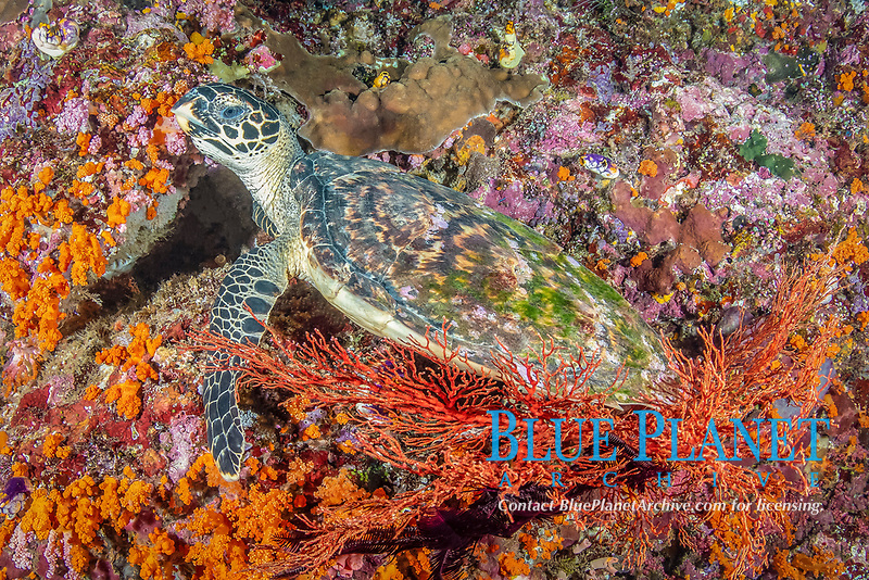 hawksbill sea turtle, Eretmochelys imbricata, resting on sea fan, Melithaea sp., in Raja Ampat Islands, West Papua, Indonesia, Indo-Pacific Ocean