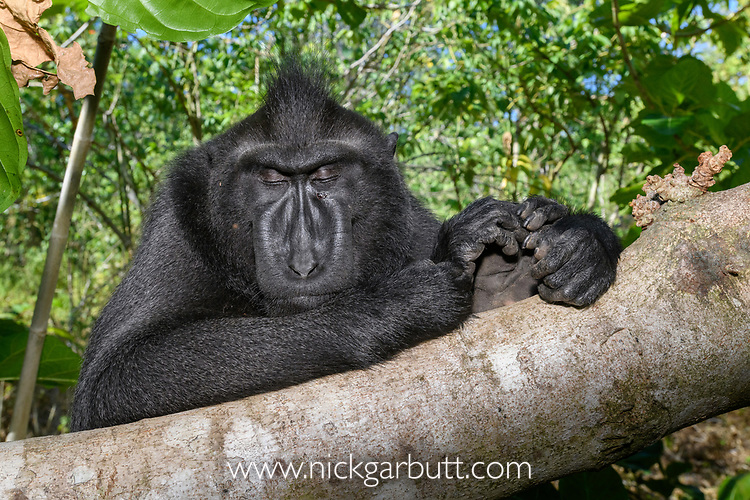 Adult male Sulawesi or Celebes crested macaque or Sulawesi or Celebes black macaque (Macaca nigra)(known locally as yaki or wolai) sleeping in forest. Tangkoko National Park, Sulawesi, Indonesia.