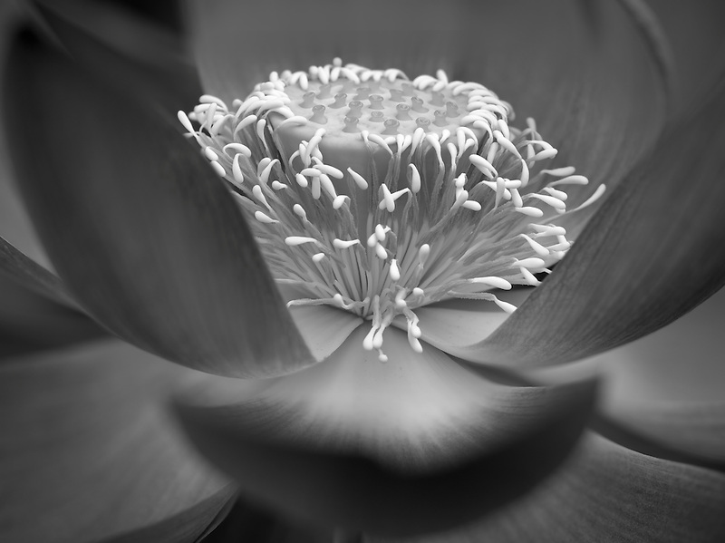 Close up of lotus blossom. Oregon