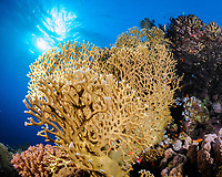 Colony of fire coral (scientific name: Millepora sp.) growing on a drop off Hamata coast, Egypt, Red Sea.