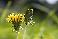 Löwenzahn, Blüte schließt sich bei schlechtem Wetter, Löwenzahn-Wiese, Löwenzahnwiese, Wiesen-Löwenzahn, Wiesenlöwenzahn, Gemeiner Löwenzahn, Gewöhnlicher Löwenzahn, Kuhblume, Taraxacum officinale, Taraxacum sect. Ruderalia, Dandelion, common dandelion, Dent de lion