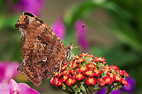 Eastern Comma Butterfly (Polygonia comma) has probiscus out to sip nectar from Yarrow flowers (Achillea millefolium) in backyard garden. This butterfly's common name is dervied from the small silver curved line on the underside of its hindwing that looks like a comma. Summer. Nova Scotia, Canada.