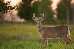 White-tailed buck with antlers in vevlet