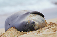 Hawaiian Monk Seal, Monachus schauinslandi, adult resting at beach, Kauai, Hawaii, USA