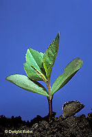 AT11-005b  Apple Tree - seedling showing first true leaves and seed coat on soil