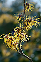 Witch hazel (Hamamelis x intermedia 'Allgold'), end January.