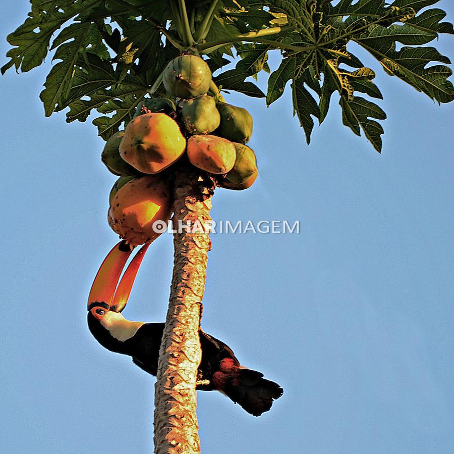 Animais. Aves. Tucano comendo mamao. MT. Foto de Antonio Siqueira.