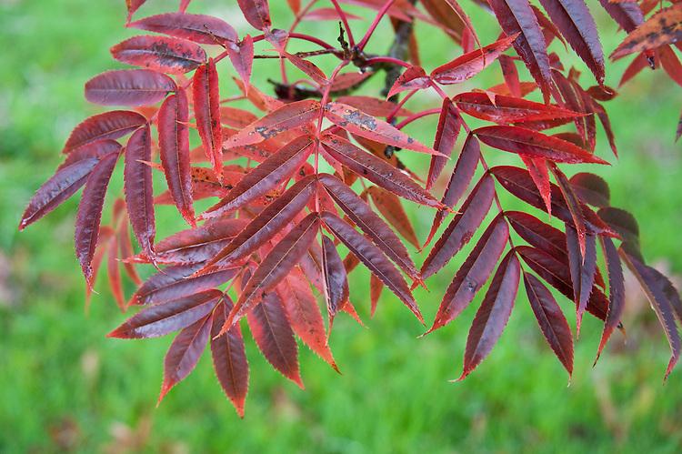 Japanese rowan tree (Sorbus commixta), end October. (Sorbus commixta), end October.