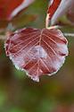 New-season copper beech foliage (Fagus sylvatica 'Dawyck Purple'), mid May.