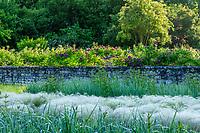 France, Indre-et-Loire, Lémeré, jardins et château du Riveau au printemps, le mur des douves et ses rosiers grimpants, tapis de Stippa tenuissima