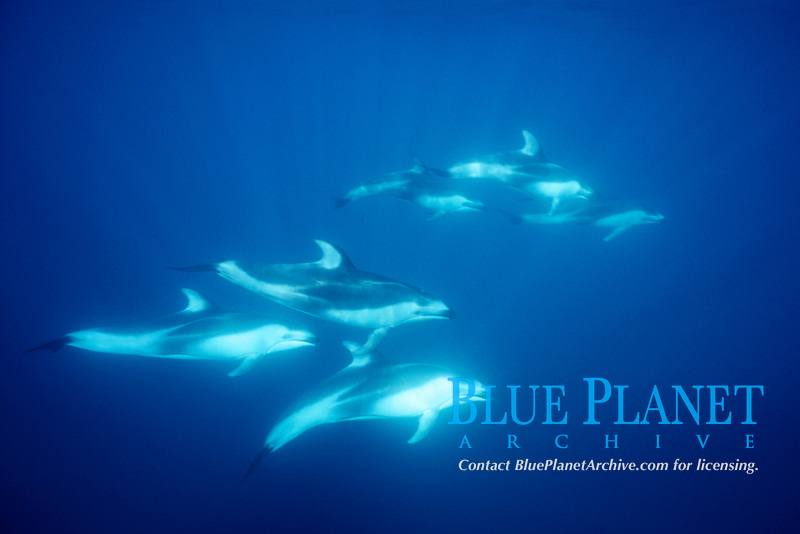 Pacific Ocean white-sided dolphins, Lagenorhynchus obliquidens, Coronados Islands, Mexico, Pacific Ocean