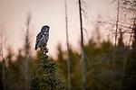 Great Gray Owl (Strix nebulosa), Manitoba, Canada