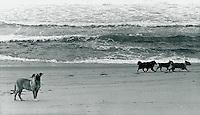 Hunde am Strand, Portugal 1978