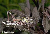 0721-07zz  Eastern Lubber Grasshopper - Romalea guttata © David Kuhn/Dwight Kuhn Photography