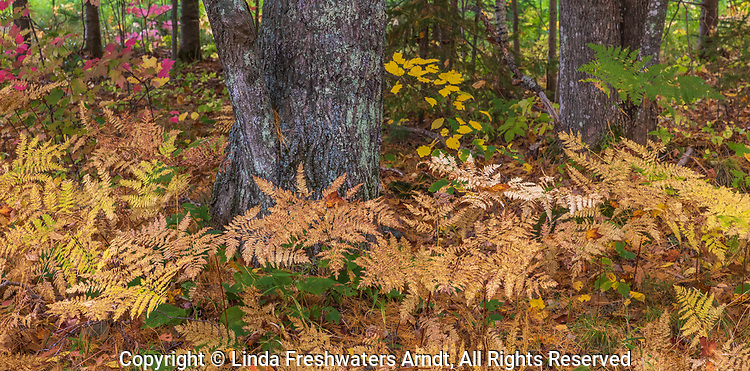 Autumn bracken ferns on the forest floor in northern Wisconsin.