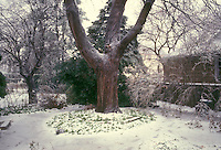 Norway maple tree with pachysandra in winter garden with ice and snow, garden wall, evergreens