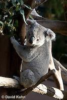 0802-1006  Koala, Phascolarctos cinereus © David Kuhn/Dwight Kuhn Photography
