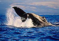 humpback whale, Megaptera novaeangliae, displaying peduncle throw or tail breach behavior, Hawaii, USA, Pacific Ocean