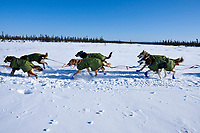 Mitch Seavey dogs trot on the trail as he pulls into the 1/2 checkpoint of Cripple during the 2010 Iditarod