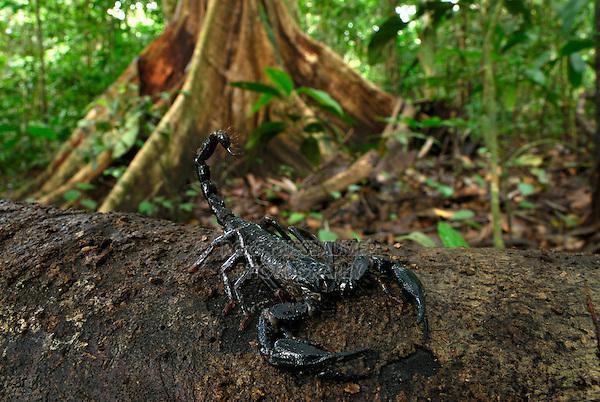 .Scorpion (Heterometrus longimanus borneensis), adult, Danum Valley Conservation Area, Sabah, Borneo, Malaysia