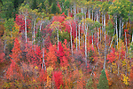 Targhee National Forest, Idaho: Hillside of red maples and aspen in fall color