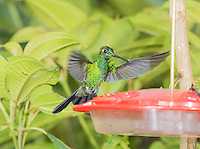 Male green-crowned brilliant hummingbird, Heliodoxa jacula, perched on a feeder at San Jorge Eco-Lodge, Milpe, Ecuador