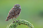 Burrowing Owl on Mullein