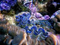 Tridacna clams. Bora Bora. French Polynesia.