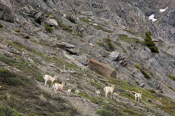 """Bighorn Sheep or Mountain Sheep (Ovis canadensis) ewes and lambs on """"lambing grounds.""""  Northern Rockies.  June."""
