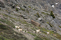 "Bighorn Sheep or Mountain Sheep (Ovis canadensis) ewes and lambs on ""lambing grounds.""  Northern Rockies.  June."