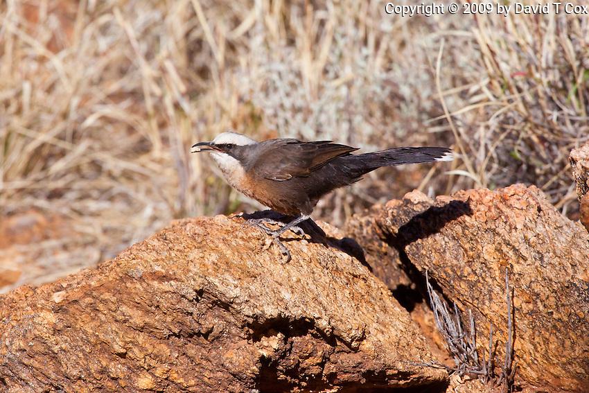 Grey-Crowned Babbler race rubecula, near original Alice Springs, NT, Australia