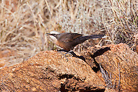 Grey-Crowned Babbler race rubecula, near original Alice Springs, NT, Australia
