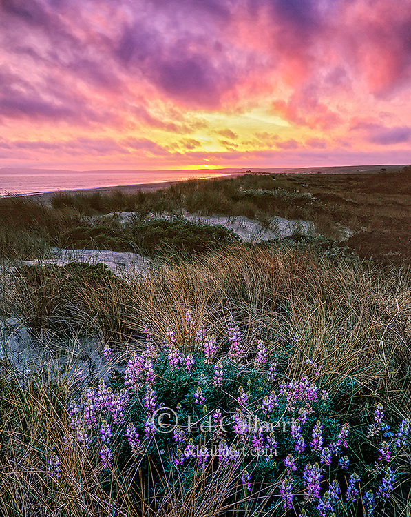 Sunset, Lupin, Limantour Beach, Point Reyes National Seashore, California, Marin County, California