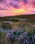 Sunset, Lupin, Limantour Beach, Point Reyes National Seashore, California, Marin County, California