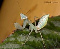 "0718-07nn  Wide armed mantis - Cilnia humeralis ""Nymph"" © David Kuhn/Dwight Kuhn Photography"