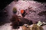 Orange-footed Sea Cucumber with Sea Peach and Green Urchin, Schoodic Penninsula, Maine