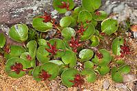 Kraut-Weide, Krautweide, Krautige Weide, Zwergweide, weibliche Pflanze, Salix herbacea, Dwarf Willow, Least Willow, Snowbed Willow