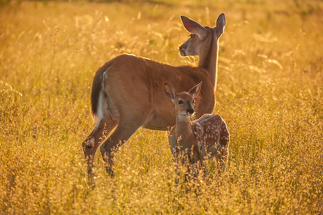 White-tailed doe and fawn, Big Meadows