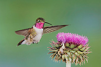 Broad-tailed Hummingbird, Selasphorus platycercus, male in flight feeding on Musk Thistle (Carduus nutans),Rocky Mountain National Park, Colorado, USA, June 2007