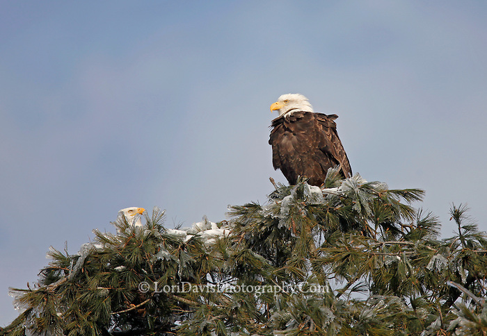 Bald eagle pair in icy tree top.