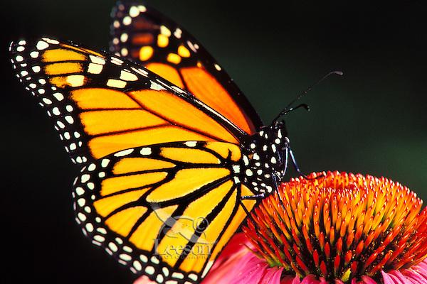 Px235  Monarch butterfly on purple coneflower.